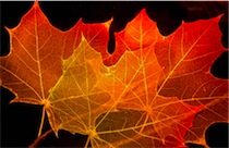 maple_leaf_structure_1