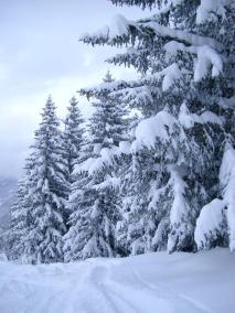 snowy_trees1969